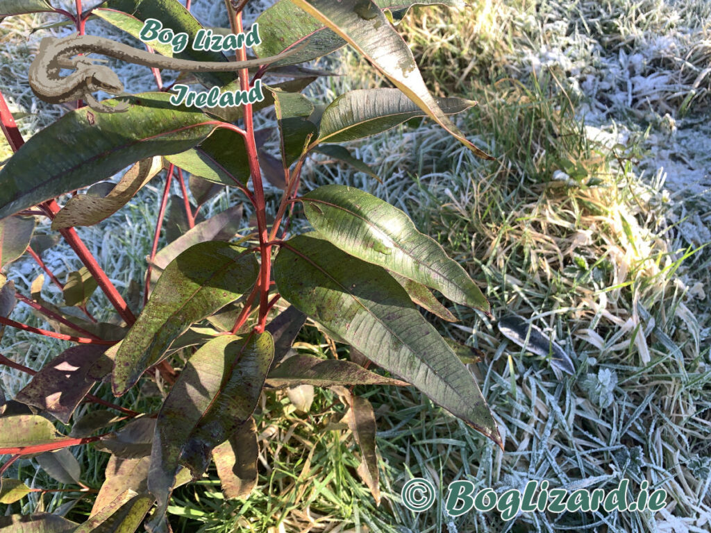 Eucalyptus Robusta leaves in the frost