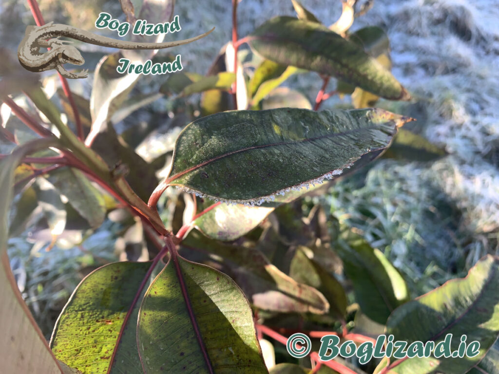 Eucalyptus Robusta with frost on leaves
